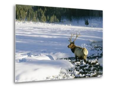 A Bull Elk Walks Through a Snow-Covered Field-Roy Toft-Metal Print
