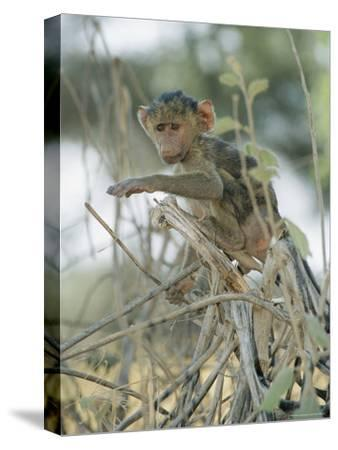 A Young Baboon Sits on Branches-Roy Toft-Stretched Canvas Print