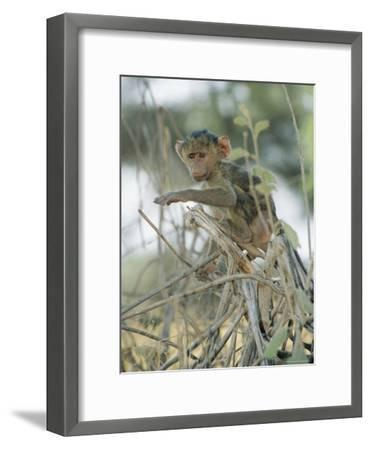 A Young Baboon Sits on Branches-Roy Toft-Framed Photographic Print