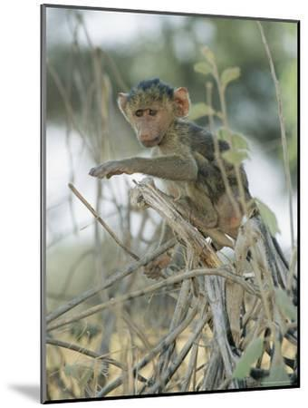 A Young Baboon Sits on Branches-Roy Toft-Mounted Photographic Print