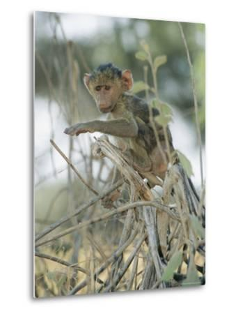 A Young Baboon Sits on Branches-Roy Toft-Metal Print