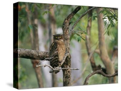 A Brown Fish Owl, Native to India, Perches in a Tree--Stretched Canvas Print