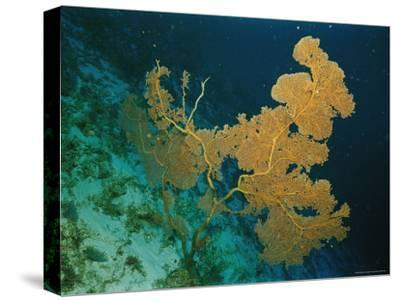 Corals Crowd the Reefs Near Rongelap Atoll-Emory Kristof-Stretched Canvas Print