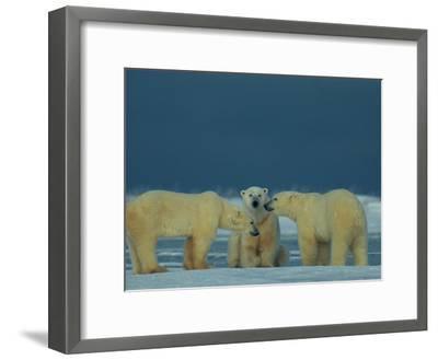 A Trio of Polar Bears (Ursus Maritimus) Playing-Norbert Rosing-Framed Photographic Print