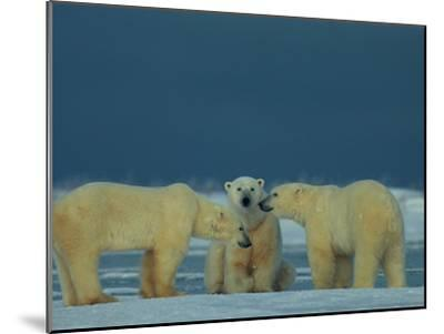 A Trio of Polar Bears (Ursus Maritimus) Playing-Norbert Rosing-Mounted Photographic Print