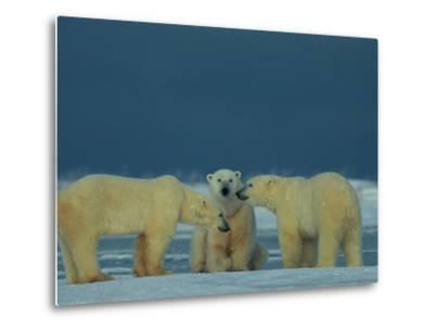A Trio of Polar Bears (Ursus Maritimus) Playing-Norbert Rosing-Metal Print