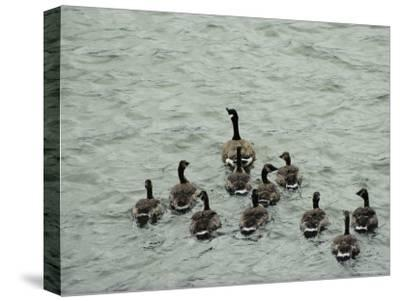 A Canada Goose Leads a Gaggle of Adolescent Geese Through the Water-Robert Madden-Stretched Canvas Print