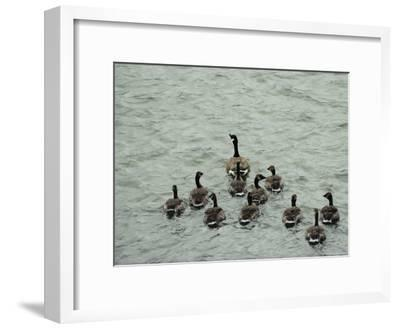 A Canada Goose Leads a Gaggle of Adolescent Geese Through the Water-Robert Madden-Framed Photographic Print