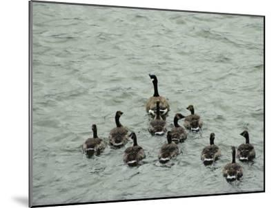 A Canada Goose Leads a Gaggle of Adolescent Geese Through the Water-Robert Madden-Mounted Photographic Print