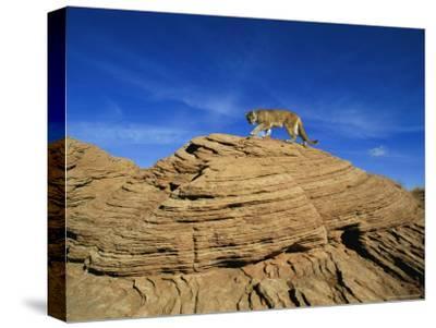 A Mountain Lion Walks Across a Desert Landscape--Stretched Canvas Print