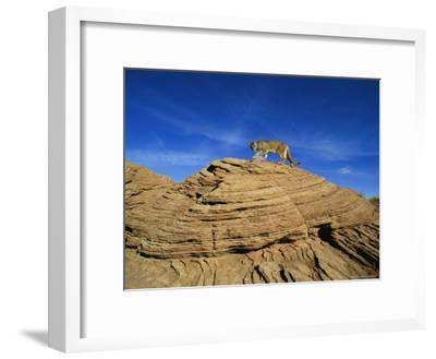 A Mountain Lion Walks Across a Desert Landscape--Framed Photographic Print