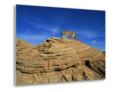 A Mountain Lion Walks Across a Desert Landscape--Metal Print