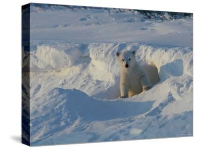 A Three-Month-Old Polar Bear Cub Exits its Den-Norbert Rosing-Stretched Canvas Print