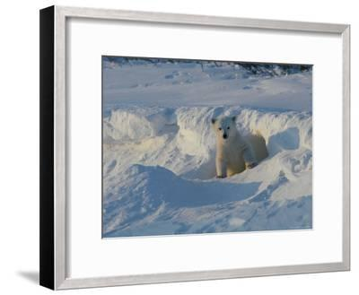 A Three-Month-Old Polar Bear Cub Exits its Den-Norbert Rosing-Framed Photographic Print