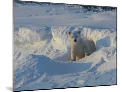 A Three-Month-Old Polar Bear Cub Exits its Den-Norbert Rosing-Mounted Photographic Print
