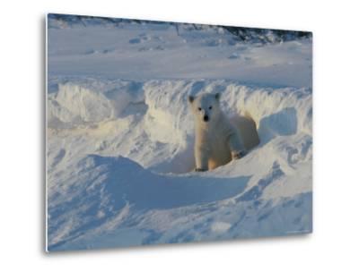 A Three-Month-Old Polar Bear Cub Exits its Den-Norbert Rosing-Metal Print