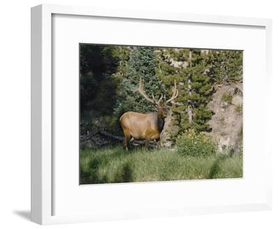 A Magnificent Elk Stands at the Edge of the Woods-Dr^ Maurice G^ Hornocker-Framed Photographic Print