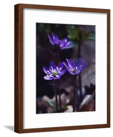 Round-Lobed Hepatica Blossoms-Mattias Klum-Framed Photographic Print