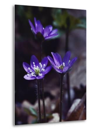 Round-Lobed Hepatica Blossoms-Mattias Klum-Metal Print