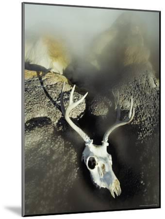 The Bleached-Out Antlered Skull of a Male Deer Lies Among Boulders Near a Thermal Hot Spring-Paul Chesley-Mounted Photographic Print