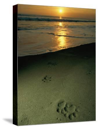 Jaguar Paw Prints in the Sand-Steve Winter-Stretched Canvas Print