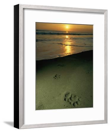 Jaguar Paw Prints in the Sand-Steve Winter-Framed Photographic Print