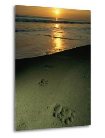 Jaguar Paw Prints in the Sand-Steve Winter-Metal Print
