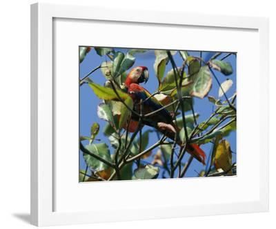 A Macaw Perches in a Tree-Steve Winter-Framed Photographic Print