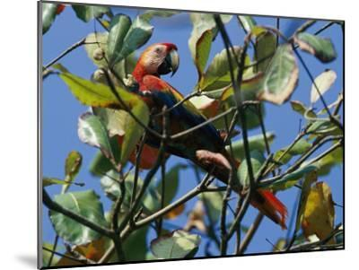 A Macaw Perches in a Tree-Steve Winter-Mounted Photographic Print
