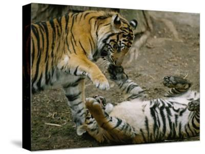 Two Tigers Play Together at the National Zoo-Vlad Kharitonov-Stretched Canvas Print