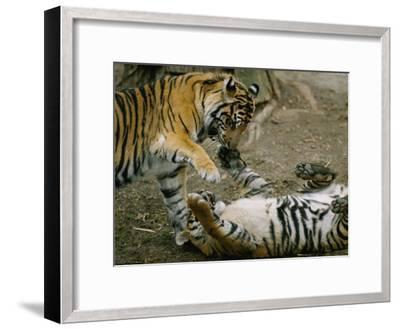 Two Tigers Play Together at the National Zoo-Vlad Kharitonov-Framed Photographic Print