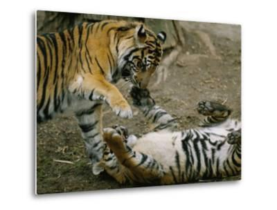 Two Tigers Play Together at the National Zoo-Vlad Kharitonov-Metal Print