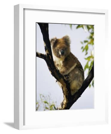 A Koala Bear Sits in a Tree-Nicole Duplaix-Framed Photographic Print