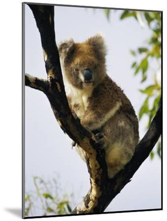 A Koala Bear Sits in a Tree-Nicole Duplaix-Mounted Photographic Print