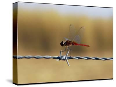Close View of an Insect Perched on Barbed Wire-Nicole Duplaix-Stretched Canvas Print