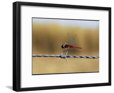 Close View of an Insect Perched on Barbed Wire-Nicole Duplaix-Framed Photographic Print