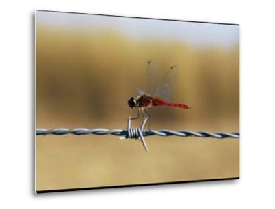 Close View of an Insect Perched on Barbed Wire-Nicole Duplaix-Metal Print