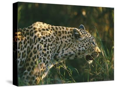 A Leopard Stalks its Prey-Nicole Duplaix-Stretched Canvas Print