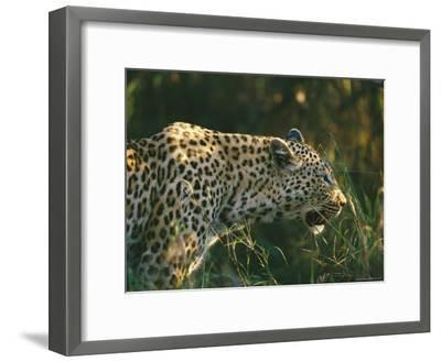A Leopard Stalks its Prey-Nicole Duplaix-Framed Photographic Print