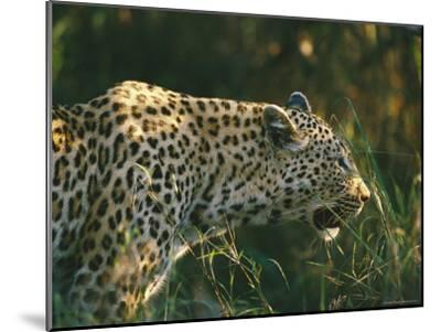 A Leopard Stalks its Prey-Nicole Duplaix-Mounted Photographic Print
