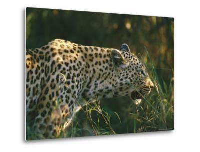 A Leopard Stalks its Prey-Nicole Duplaix-Metal Print