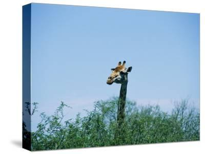 A Giraffe Stands Above the Surrounding Vegetation-Nicole Duplaix-Stretched Canvas Print