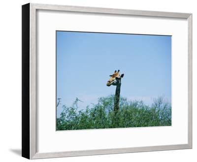 A Giraffe Stands Above the Surrounding Vegetation-Nicole Duplaix-Framed Photographic Print