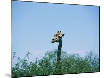 A Giraffe Stands Above the Surrounding Vegetation-Nicole Duplaix-Mounted Photographic Print