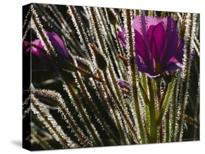 Close-up of a Byblis Plant-Paul Zahl-Stretched Canvas Print