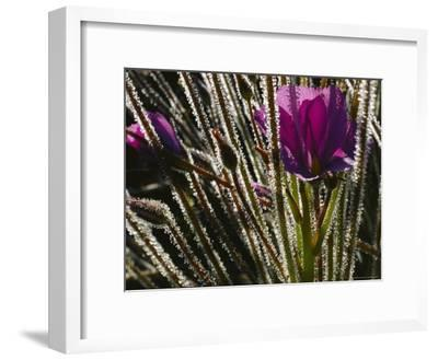 Close-up of a Byblis Plant-Paul Zahl-Framed Photographic Print