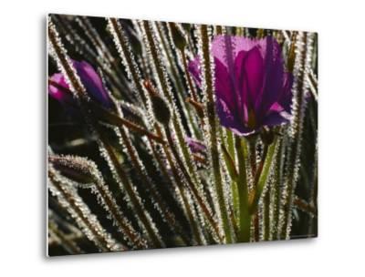 Close-up of a Byblis Plant-Paul Zahl-Metal Print