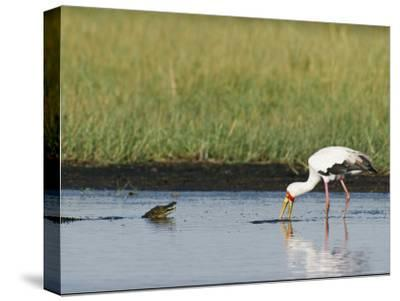 A Yellow-Billed Stork Forages in Shallow Water Near a Small Nile Crocodile-Beverly Joubert-Stretched Canvas Print