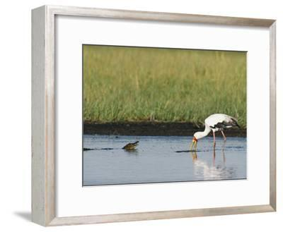 A Yellow-Billed Stork Forages in Shallow Water Near a Small Nile Crocodile-Beverly Joubert-Framed Photographic Print