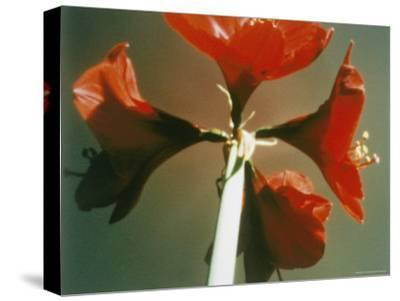A Close-up of a Four Red Blossoms-Sisse Brimberg-Stretched Canvas Print
